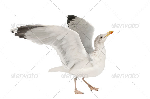 European Herring Gull, Larus argentatus, 4 years old, walking against white background - Stock Photo - Images