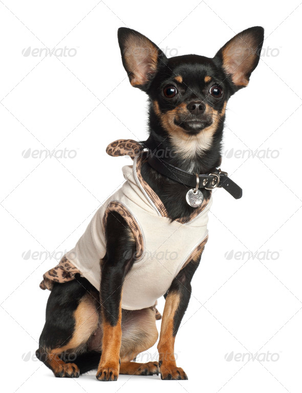 Chihuahua, 8 months old, sitting against white background - Stock Photo - Images
