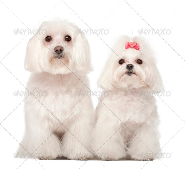 Two Maltese, 4 and 8 years old, standing against white background - Stock Photo - Images