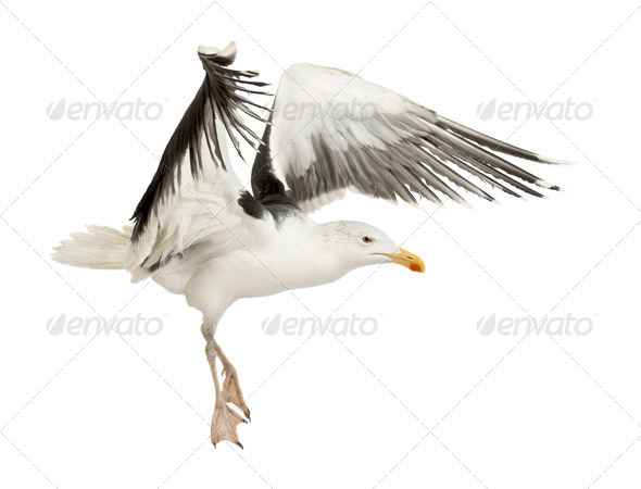 Great Black-backed Gull, Larus marinus, 4 years old, flying against white background - Stock Photo - Images