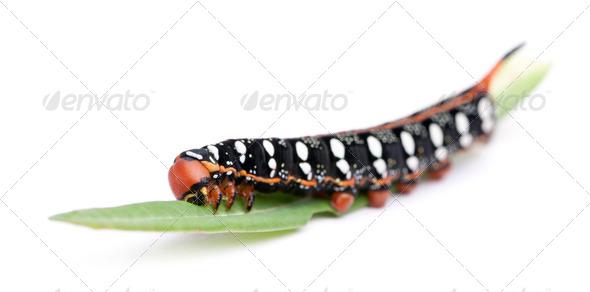 Spurge Hawk, Hyles Euphorbiae, caterpillar on leaf against white background - Stock Photo - Images