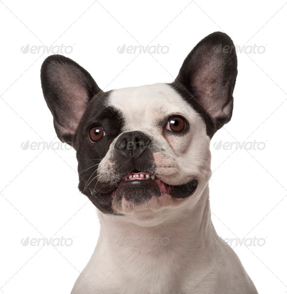 French Bulldog, 3 years old, against white background - Stock Photo - Images