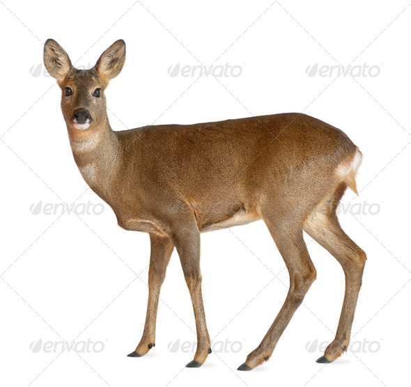 European Roe Deer, Capreolus capreolus, 3 years old, standing against white background - Stock Photo - Images