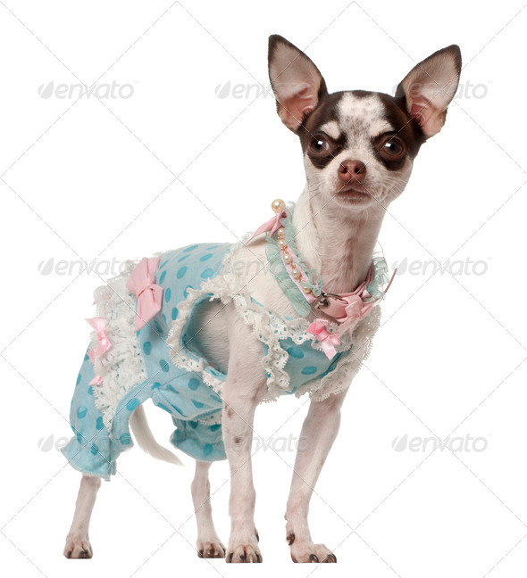Chihuahua, 10 months old, standing against white background - Stock Photo - Images