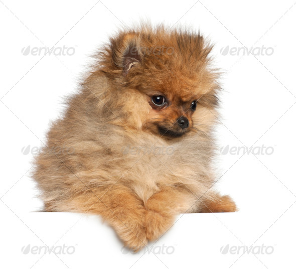 Spitz, 4 months old, against white background - Stock Photo - Images