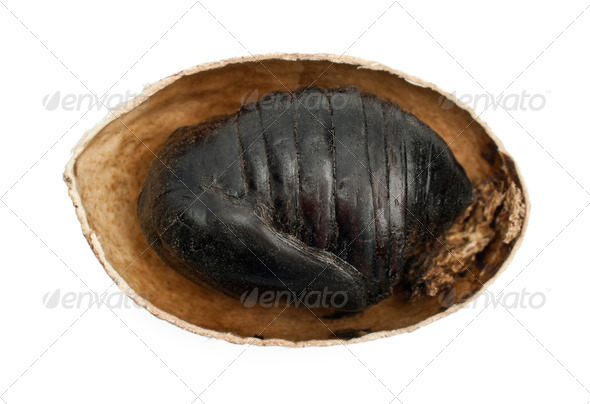 South India Small Tussore, Antheraea paphia, chrysalis, inside shell, against white background - Stock Photo - Images