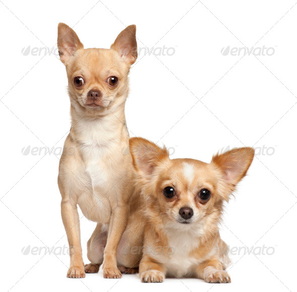 Chihuahuas, 2 years old, sitting against white background - Stock Photo - Images
