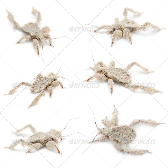 Young masked hunters, Reduvius personatus, covered in dust against white background - Stock Photo - Images