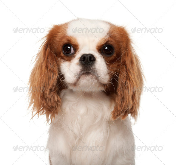 Cavalier King Charles Spaniel, 10 months old, against white background - Stock Photo - Images