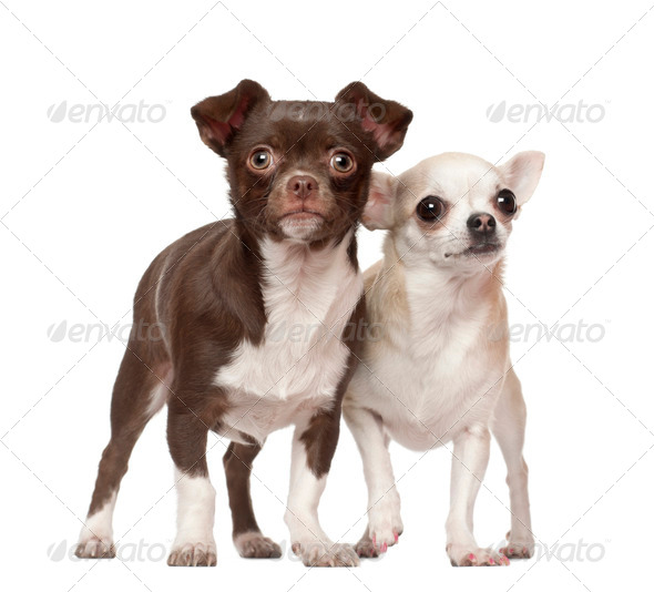 Chihuahuas, 2 and 4 years old, standing against white background - Stock Photo - Images