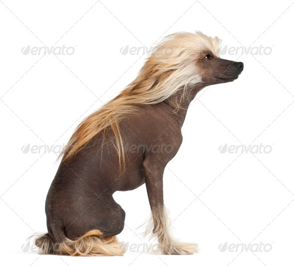 Chinese Crested Dog, 9 months old, sitting against white background - Stock Photo - Images