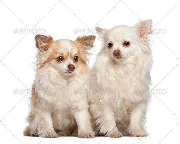 Chihuahua, 4 years old, sitting against white background - Stock Photo - Images