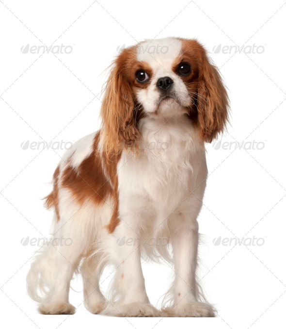 Cavalier King Charles Spaniel, 10 months old, standing against white background - Stock Photo - Images