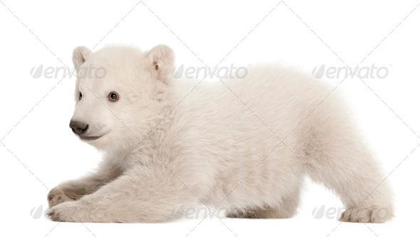 Polar bear cub, Ursus maritimus, 3 months old, lying against white background - Stock Photo - Images