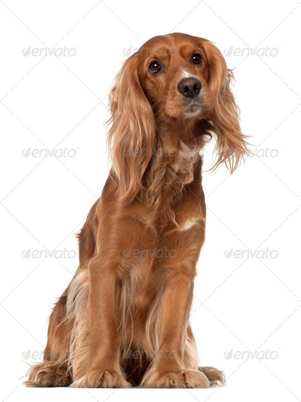 English Cocker Spaniel, 2 years old, sitting against white background - Stock Photo - Images