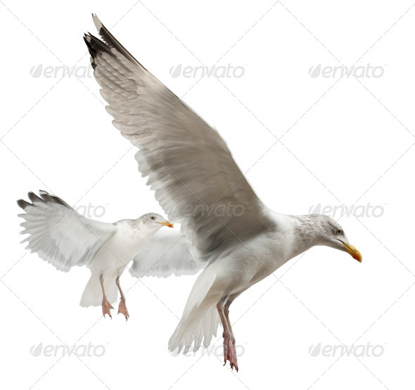European Herring Gulls, Larus argentatus, 4 years old, flying against white background - Stock Photo - Images