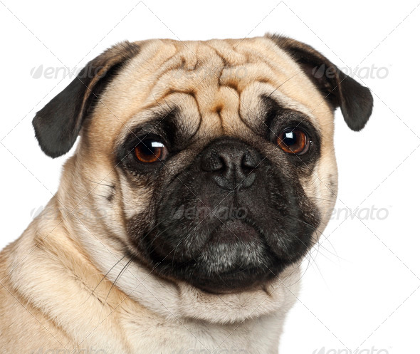 Pug, 3 years old, sitting against white background - Stock Photo - Images