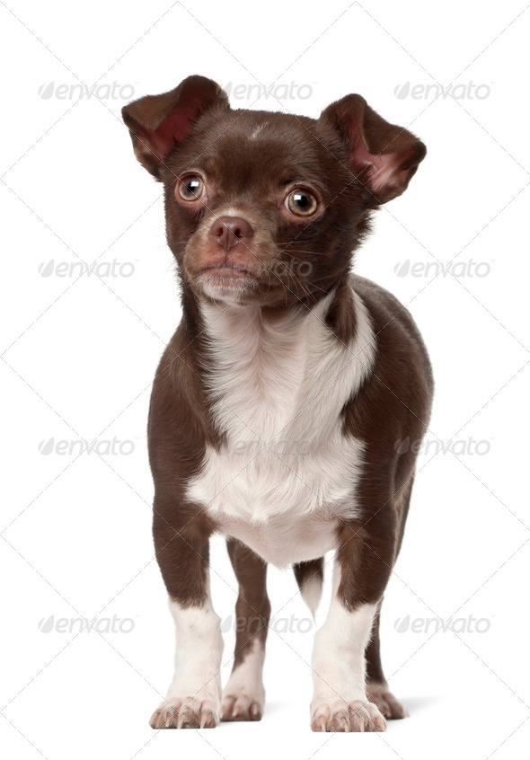 Chihuahua standing against white background - Stock Photo - Images