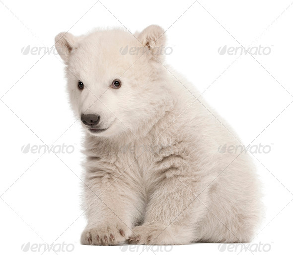 Polar bear cub, Ursus maritimus, 3 months old, sitting against white background - Stock Photo - Images