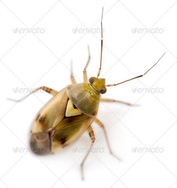 Plant bug, Miridae Lygus sp, against white background - Stock Photo - Images