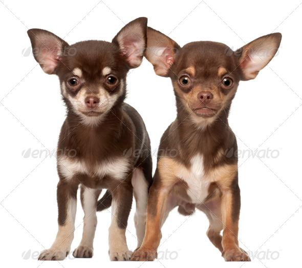 Chihuahua puppy, 6 months and 3 months old, standing against white background - Stock Photo - Images