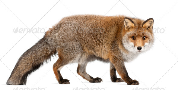 Old Red fox, Vulpes vulpes, 15 years old, walking against white background - Stock Photo - Images