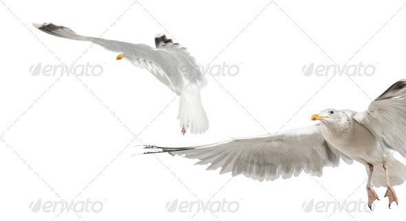 European Herring Gulls, Larus argentatus, 4 years old, flying against white background - Stock Photo - Images