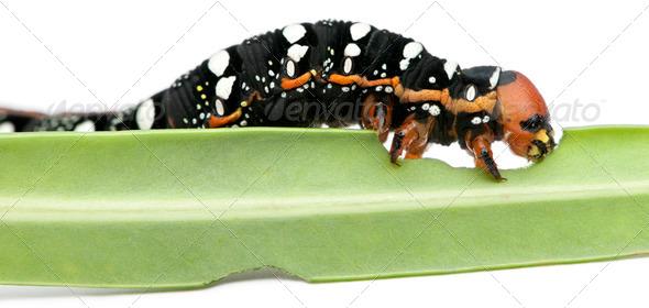 Spurge Hawk, Hyles Euphorbiae, caterpillar eating on leaf against white background - Stock Photo - Images