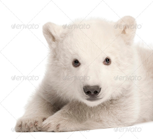 Polar bear cub, Ursus maritimus, 3 months old, lying against white background - Stock Photo - Images