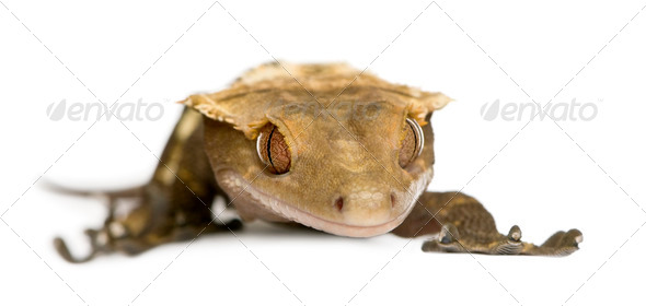 New Caledonian Crested Gecko, Rhacodactylus ciliatus against white background - Stock Photo - Images