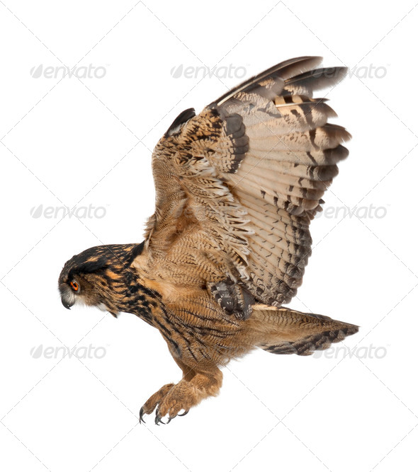Eurasian Eagle-Owl, Bubo bubo, 15 years old, flying against white background - Stock Photo - Images