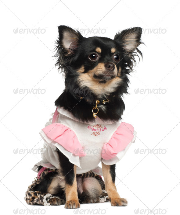 Chihuahua, 10 months old, sitting against white background - Stock Photo - Images