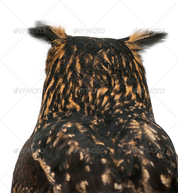 Eurasian Eagle-Owl, Bubo bubo, 15 years old, against white background - Stock Photo - Images