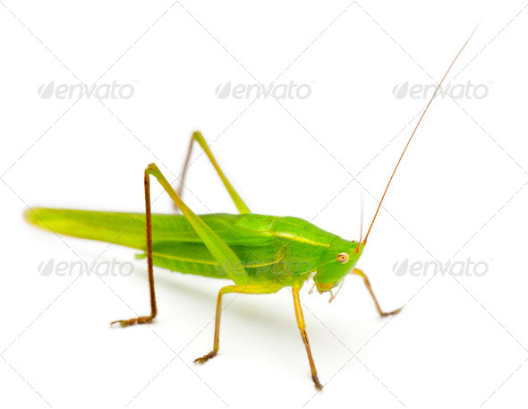 Large Conehead, Ruspolia nitidula, against white background - Stock Photo - Images