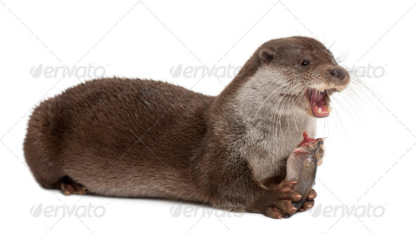 European Otter, Lutra lutra, 6 years old, lying and eating against white background - Stock Photo - Images