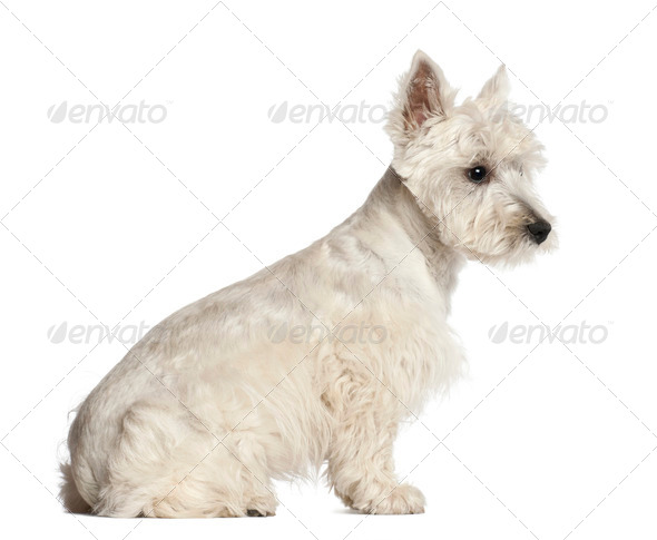 West Highland White Terrier puppy, 6 months old, sitting against white background - Stock Photo - Images