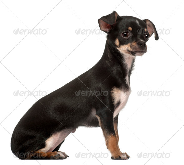 Chihuahua puppy, 4 months old, sitting against white background - Stock Photo - Images