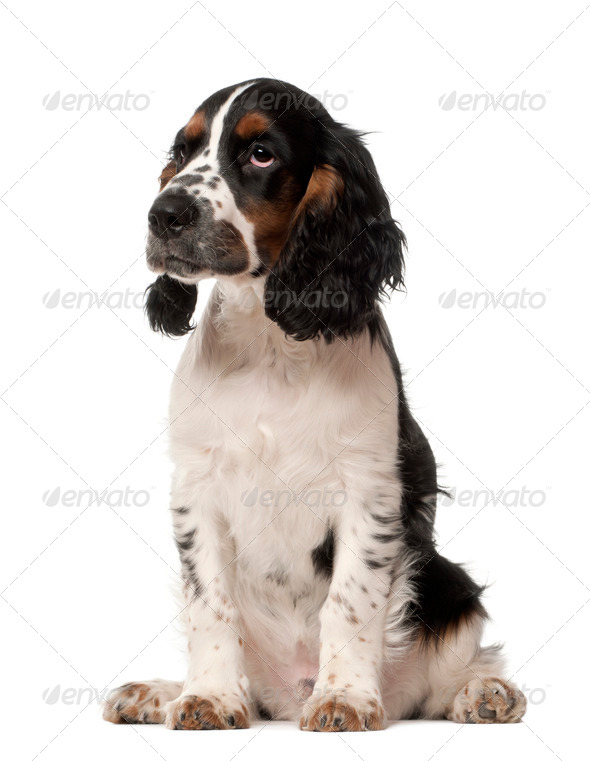 English Cocker Spaniel puppy, 4 months old, sitting against white background - Stock Photo - Images