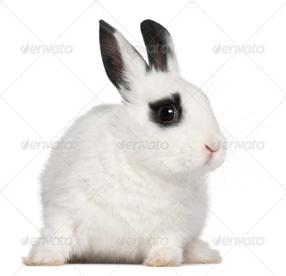 Young Dalmatian rabbit, 3 months old, against white background - Stock Photo - Images