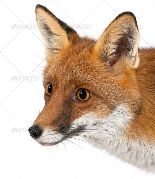 Red fox, Vulpes vulpes, 4 years old, against white background - Stock Photo - Images