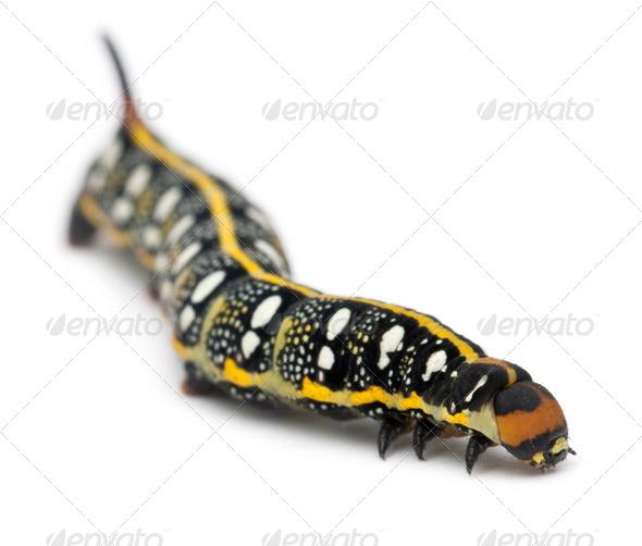 Spurge Hawk, Hyles Euphorbiae, caterpillar, 3 weeks old against white background - Stock Photo - Images