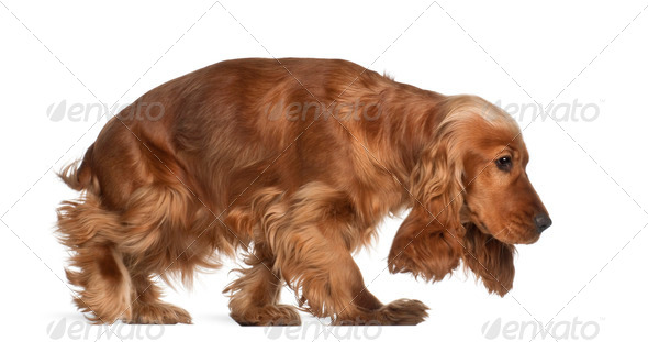 English cocker spaniel, 9 months old, walking against white background - Stock Photo - Images
