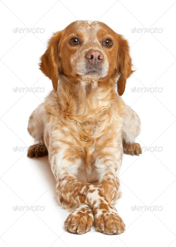 Brown speckled dog lying against white background - Stock Photo - Images