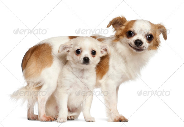 Chihuahuas, 15 months old and puppy, 2.5 months old, smiling against white background - Stock Photo - Images