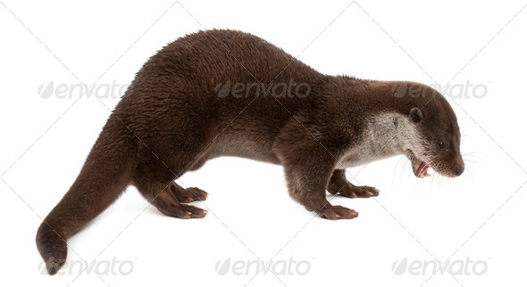 European Otter, Lutra lutra, 6 years old, standing against white background - Stock Photo - Images