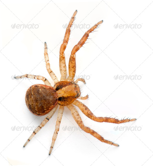 Crab spider, Xysticus sp against white background - Stock Photo - Images