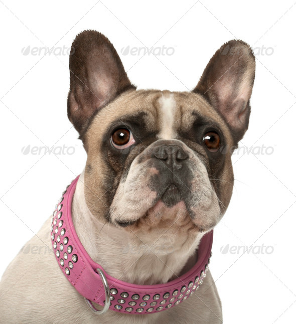 French Bulldog, 4 years old, against white background - Stock Photo - Images