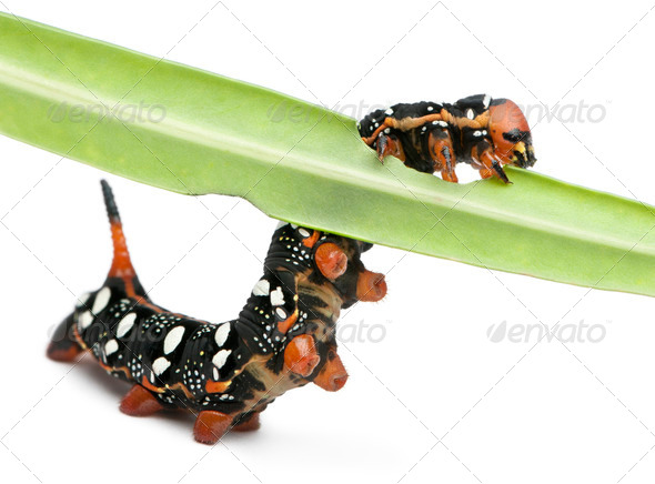 Spurge Hawk, Hyles Euphorbiae, caterpillar eating on leaf against white background - Stock Photo - Images