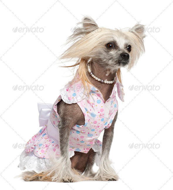 Chinese Crested Dog, 2 years old, sitting against white background - Stock Photo - Images