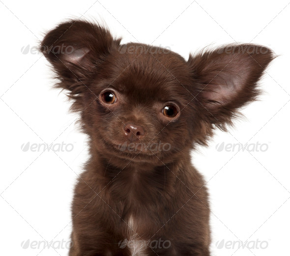 Chihuahua puppy, 3 months old, against white background - Stock Photo - Images